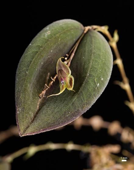 Lepanthes manabina, jedna z orchidejí s miniaturními květy.