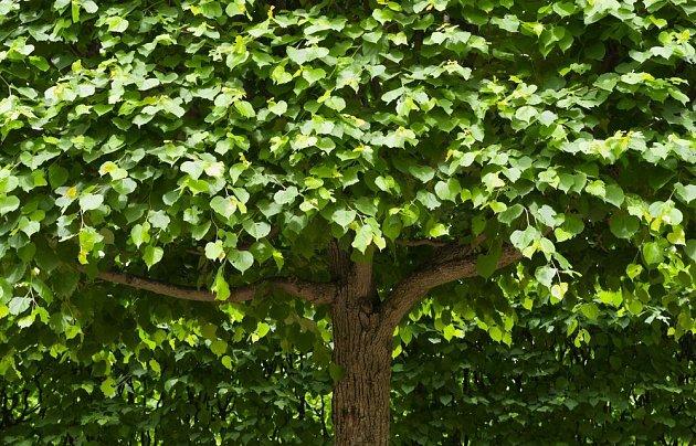 Mezi rychle rostoucí a dobře stínící stromy patří lípa a katalpa