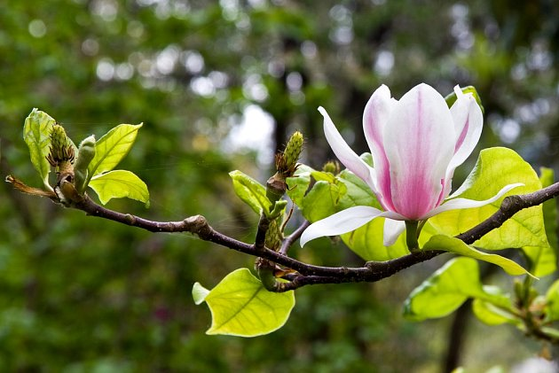 Magnólie jsou oblíbené pro své nádherné květy.