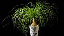 Nolina čili beukarnea pokřivená (Beaucarnea recurvata)