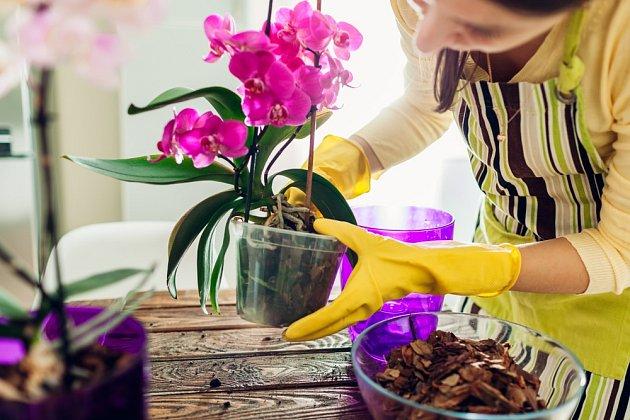 Čas od času je vhodné orchideje přesadit.