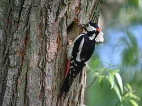 Strakapoud velký je šplhavý pták, který často navštěvuje i lidská obydlí.