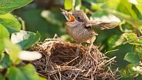 V hustých keřích a živých plotech hnízdí mnoho ptáků včetně střízlíků