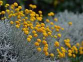 svatolína je výjimečně dekorativní a aromatická vytrvalá bylinka