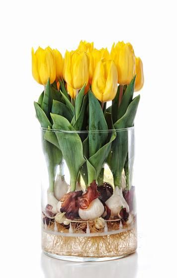 Někdy se tulipány nabízejí i s cibulemi. Vydrží pak ve váze déle.
