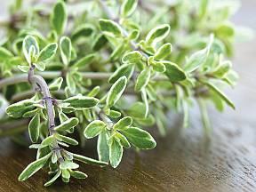 Citronový tymián také tvoří keříky a pěstuje se stejně jako tymián obecný.