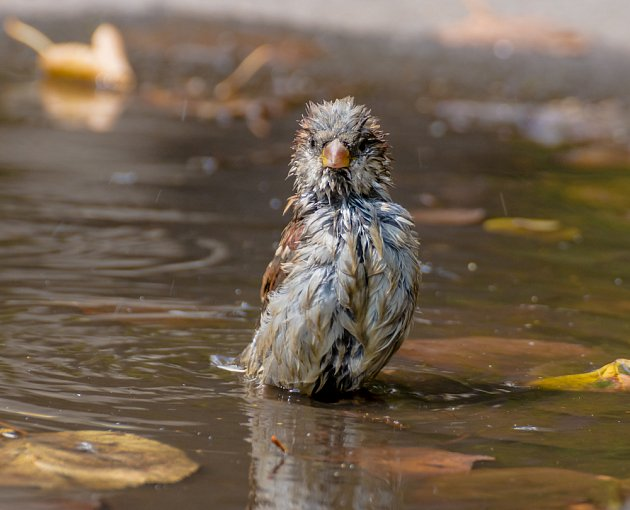 vrabci se mohou koupat i popelit