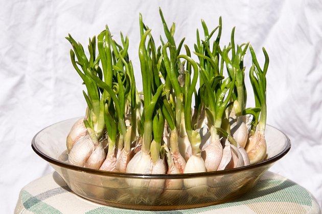 Narašený česnek můžeme pěstovat na misce a sklidit chutnou nať.