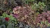 Dlužicha odrůdy Palace Purple je přizpůsobivá, odolná a dekorativní listy i květy