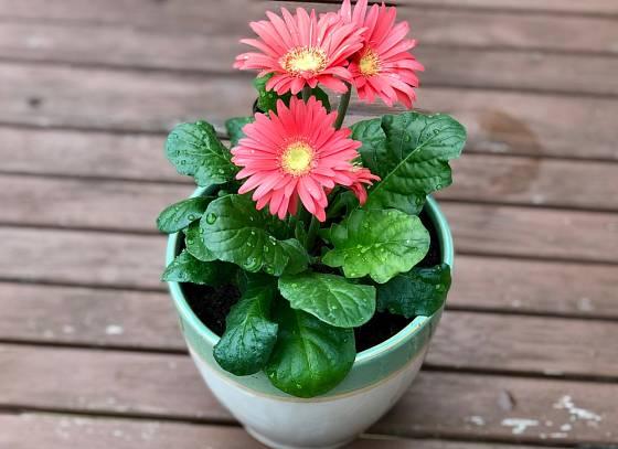 Gerbery můžeme pěstovat jako pokojové rostliny.