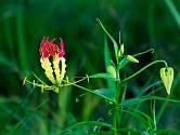 Gloriosa superba Rotschildiana pochází z jižní Afriky.