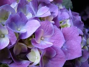 Hortenzie, detail květenství.