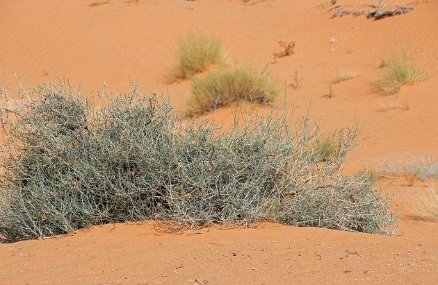 Krásnohlávek, zvaný též drátovec, na saharské poušti.ara.