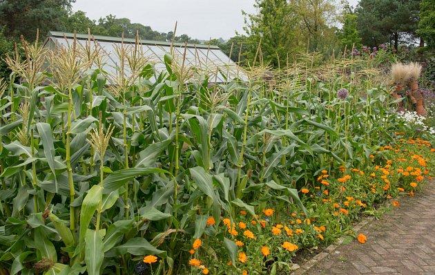 Kukuřice na zahradě nikdo nepřehlédne. Doprovází je řádek měsíčků.