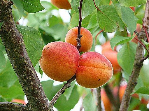 Dobře pěstované meruňky dávají bohatou úrodu