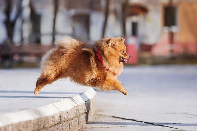 Pomeranian připomíná chundelatého medvídka.