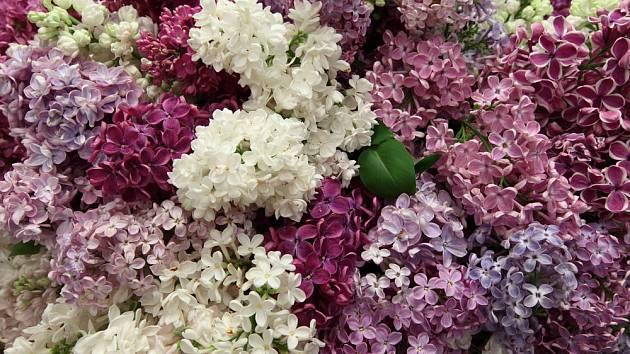 Šeřík můžete pěstovat v mnoha barvách květenství