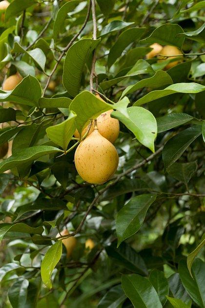 plody muškátovníku jsou žluté