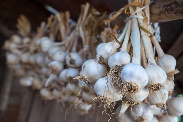 Česnek se dá sušit zavěšený ve svazcích na dobře větraném, suchém a stinném místě.
