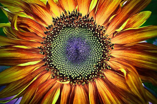 Kráse a velikosti slunečnic se nevyrovná žádná jiná letnička