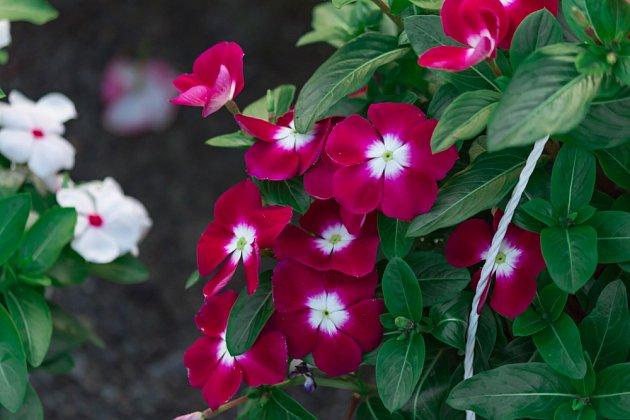 barvínkovec růžový (Catharanthus roseus), varieta s vínovými květy