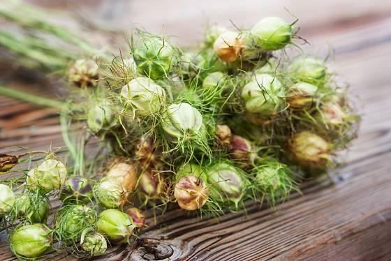 Plody černuchy jsou po usušení velmi dekorativní
