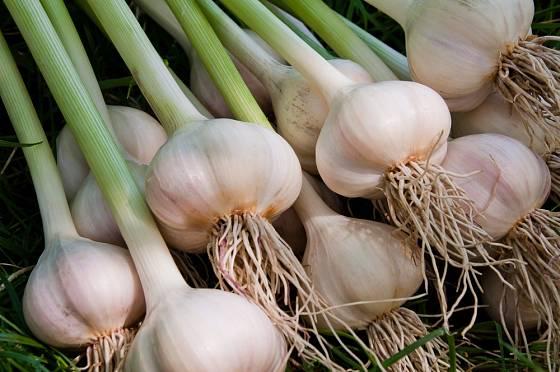 Na pultech obchodů lze český česnek poznat od importovaných odrůd prakticky ihned.