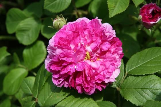 Sadová růže, odrůda Himmelsauge