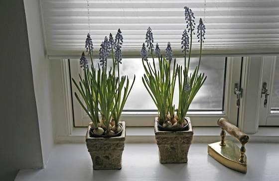 Kvetoucí symboly jara, to jsou hlavně cibuloviny.