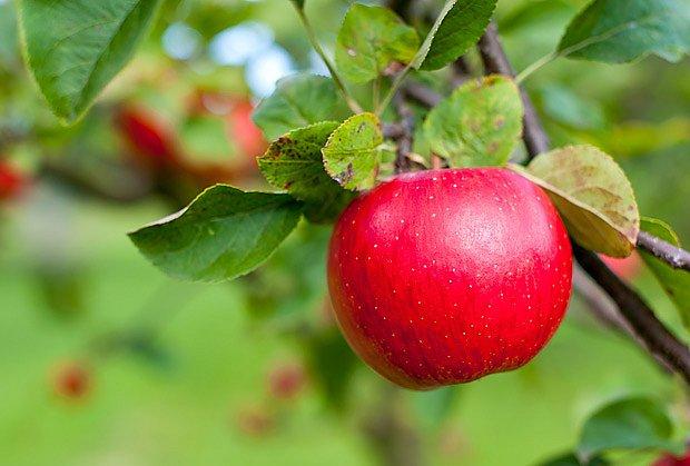 Mimo nejteplejší oblasti je vhodné pěstovat proti mrazu odolné odrůdy jabloní