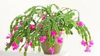 Zygocactus-  pěstujeme je v teplotách kolem 20 až 25˚C, substrát udržujeme mírně vlhký.