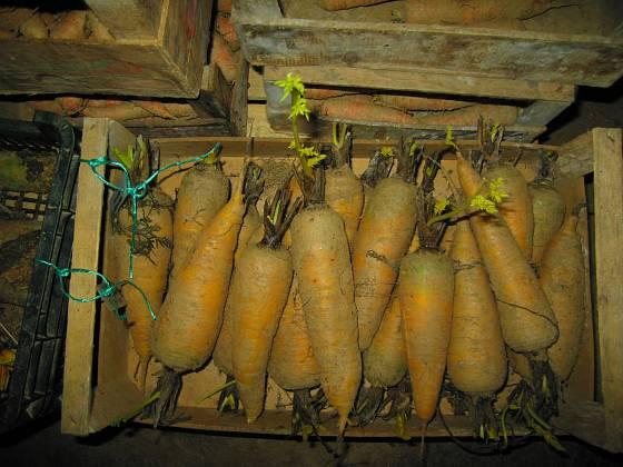 Kořeny mrkví pro semenaření uložené ve sklepě