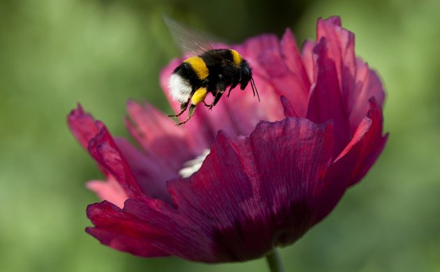 Květy sytí naše smysly, čmeláky i včely