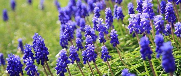 Modřence patří mezi nenáročné cibuloviny, vhodné i do vyššího trávníku či louky