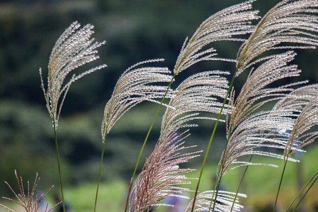 Miscanthus sinensis patří mezi velmi zdobné trávy. Ozdobnici čínskou můžete pěstovat i v květináčích a oživit s ní terasu.