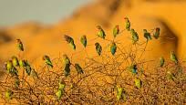 Papoušík růžohrdlý v přírodě v přirozeném hejnku
