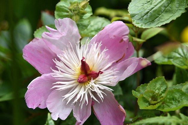 Paeonia lactiflora `Bowl of Beauty`, kultivar čínské pivoňky s až 20 cm širokými sasankovitými růžovými květy.