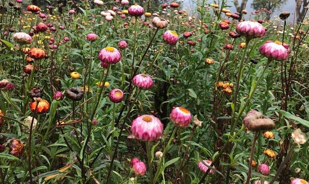 slaměnky (Helichrysum) zdobí na záhoně i v suché vazbě
