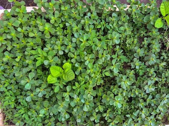 Šrucha zelná je jedlá, vůči suchu odolná a pohledná půdopokryvná rostlina