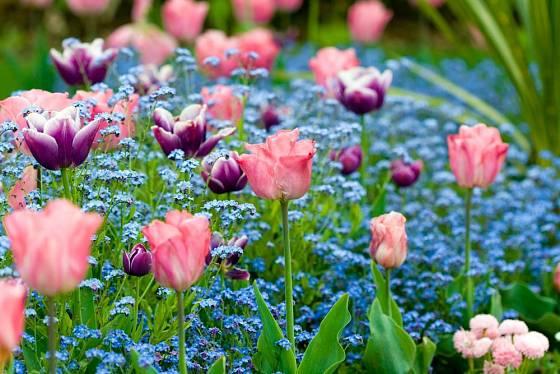Kombinace tulipánů a pomněnek je jedna z nejvděčnějších