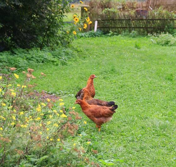 Mladé kuřičky plemene vlaška na zahradě
