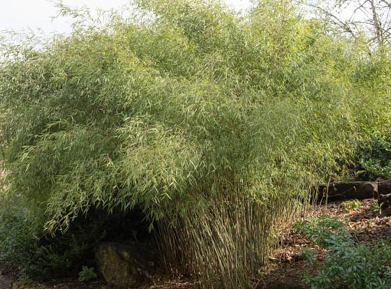 Rákosovec lesklý (Fargesia nitida) patří k trsnatě rostoucím bambusům.