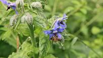 Brutnák je letnička jedlá, léčivá a nektarodárná