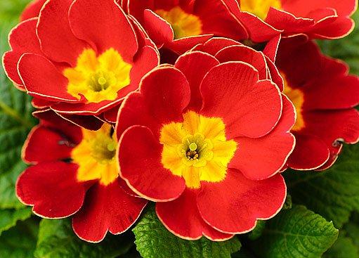 Jasné barvy primulek rozzáří interiér i zahradu