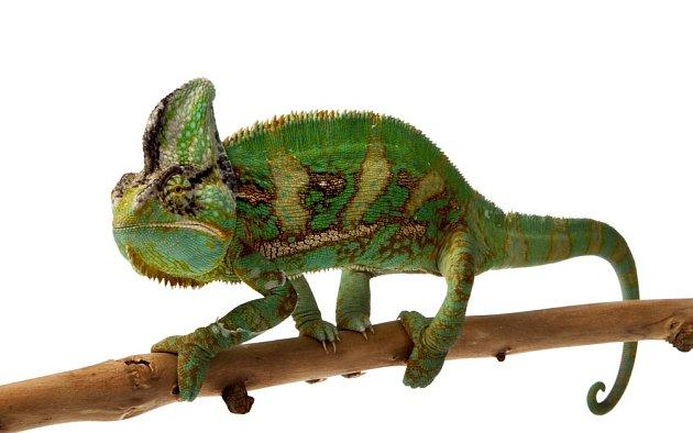 Chameleon nepatří mezi tradiční domácí mazlíčky.