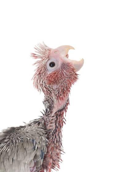 Mládě kakadu růžového žadoní rodiče o potravu široce otevřeným zobáčkem