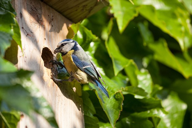 malá sýkora modřinka je velkým pomocníkem zahradníků