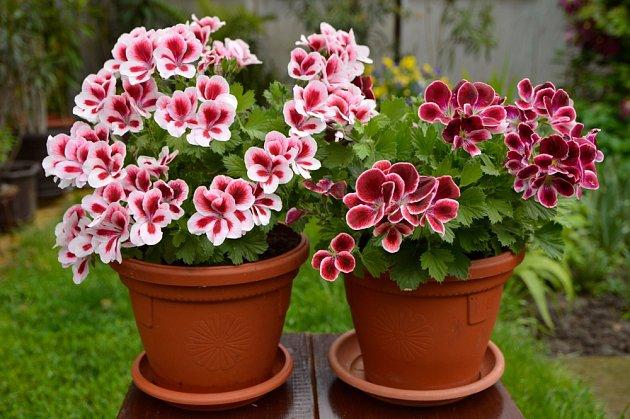 Velkokvěté muškáty (Pelargonium grandiflorum), zvané též anglické.