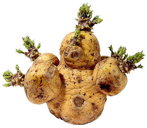 správně naklíčená brambora