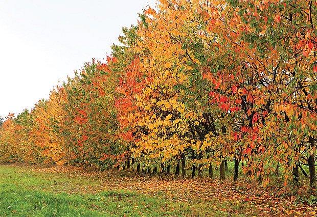 Holovouské odrůdy třešní jsou vyhlášené i v zahraničí